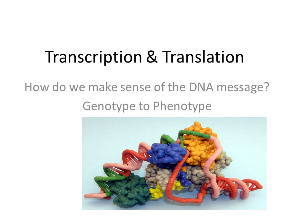 Transcription & Translation How do we make sense of the DNA message Genotype to Phenotype