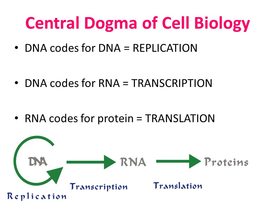 Central Dogma of Cell Biology DNA codes for DNA = REPLICATION DNA codes for RNA = TRANSCRIPTION RNA codes for protein = TRANSLATION