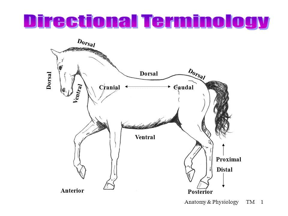 Anatomy & Physiology TM 1 Dorsal Caudal Ventral Cranial Distal ...