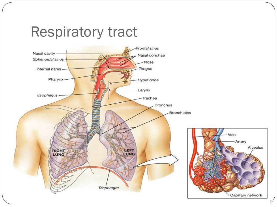 RESPIRATORY SYSTEM. Lower respiratory tract It includes: A. Trachea ...
