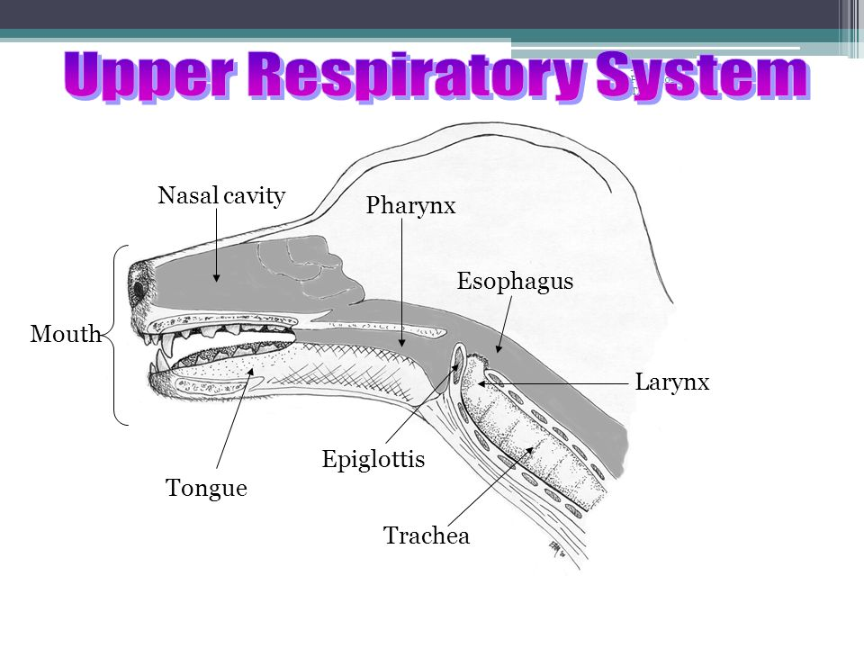 Upper Respiratory System Cilia ▫Tiny wave-like hairs that line the nostrils and help to filter air Pharynx ▫Passageway shared by the digestive and respiratory system Epiglottis ▫Tiny flap that covers the larynx during swallowing Larynx ▫ voice box, contains vocal cords that vibrate when air passes through