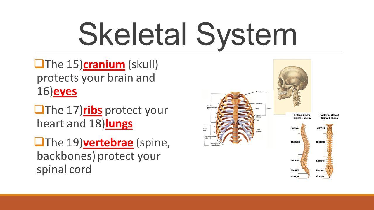 Skeletal System Skeletal System All Of The 1bones And 2tissues