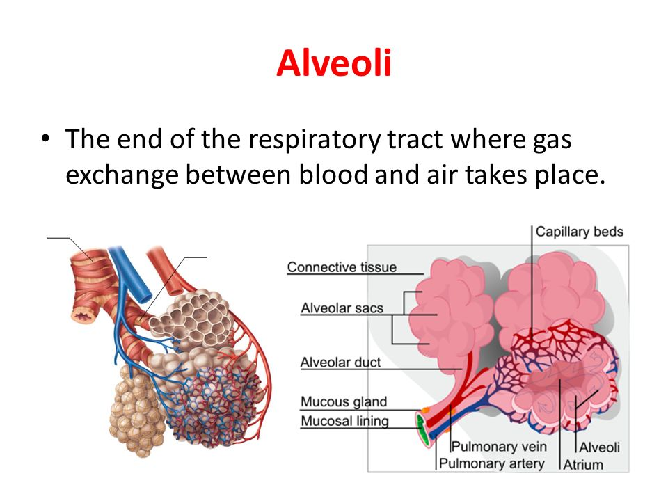 Alveoli The end of the respiratory tract where gas exchange between blood and air takes place.