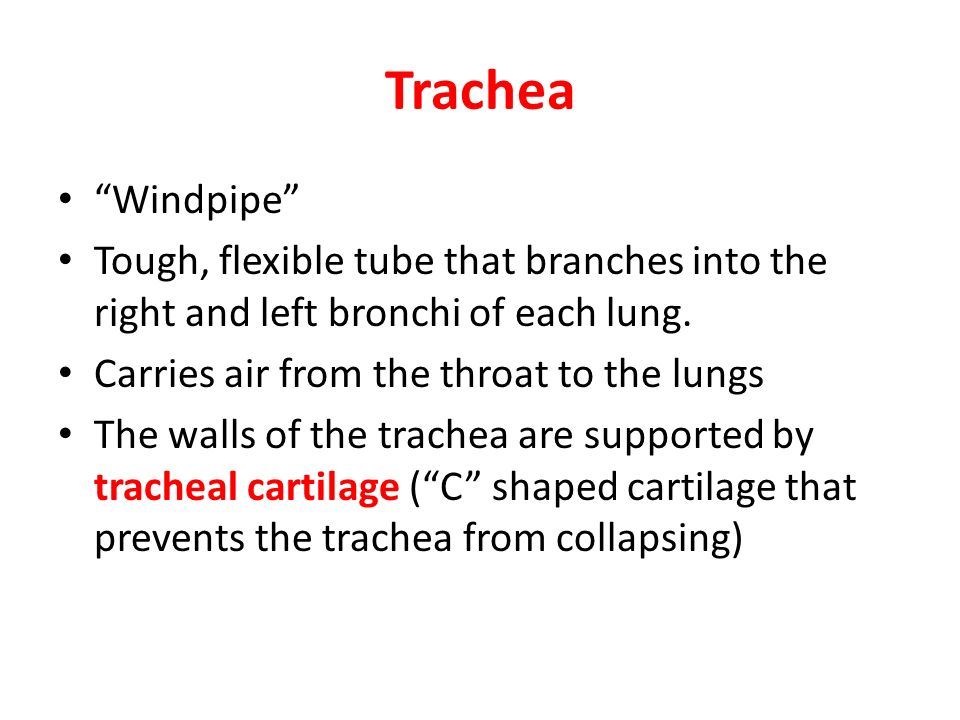 Trachea Windpipe Tough, flexible tube that branches into the right and left bronchi of each lung.