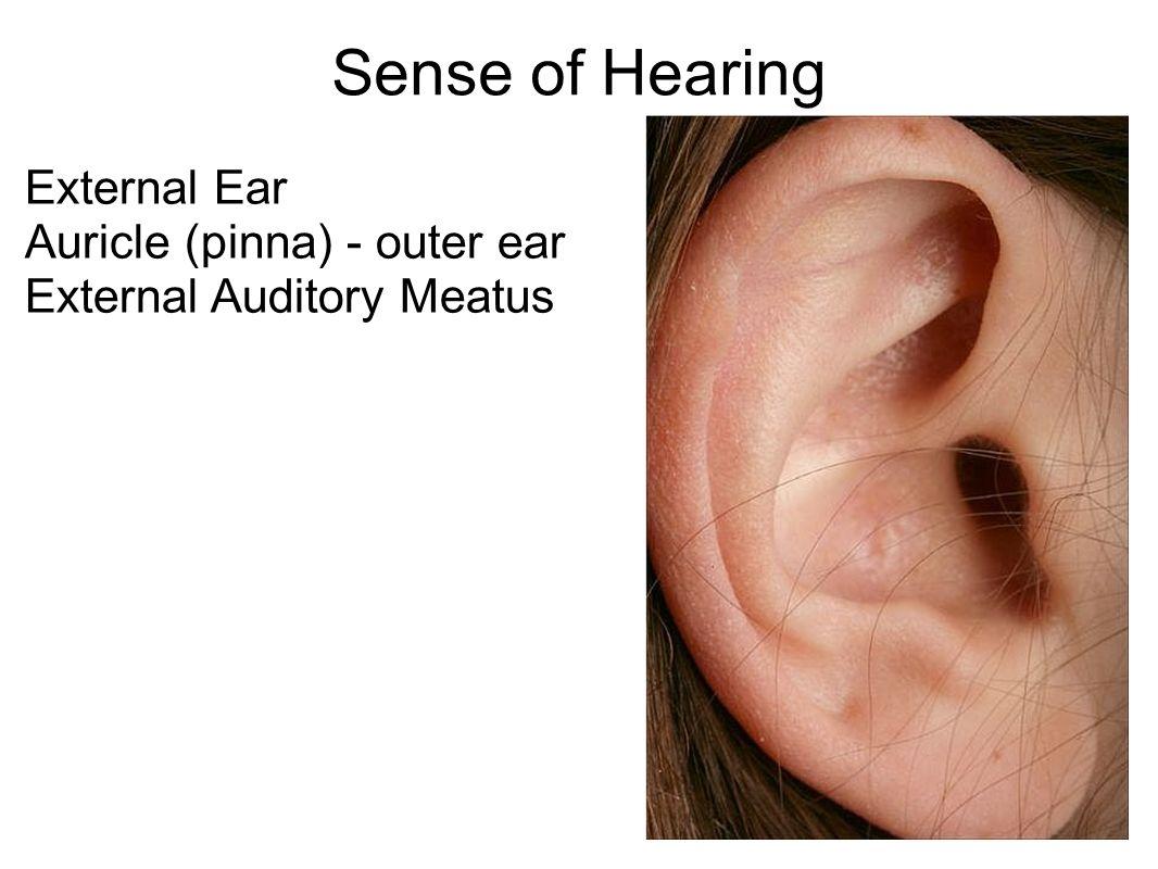 Sense of Hearing External Ear Auricle (pinna) - outer ear External ...