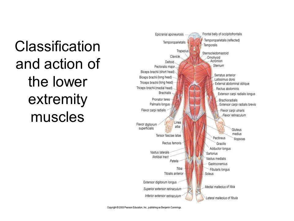 Classification And Action Of The Lower Extremity Muscles Ppt Download