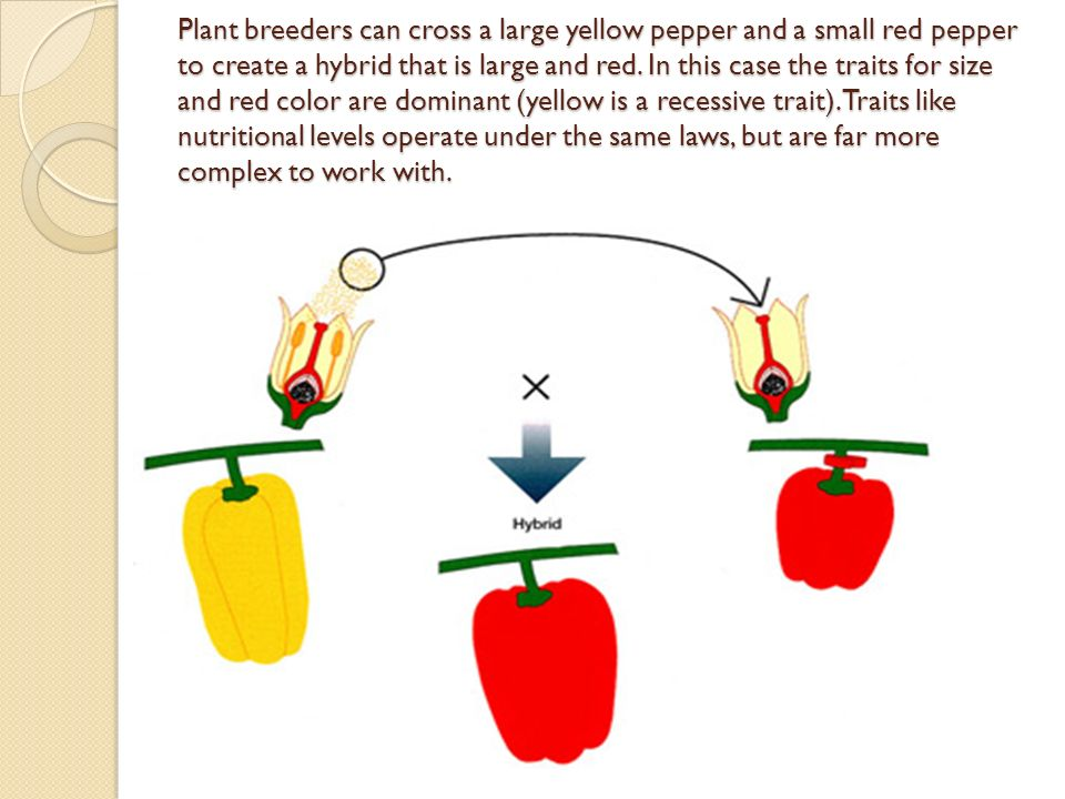 Plant breeders can cross a large yellow pepper and a small red pepper to create a hybrid that is large and red.