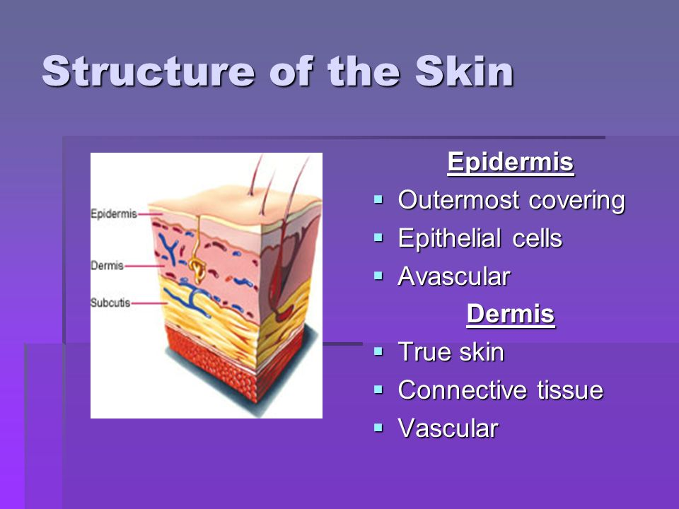 Structure of the Skin Epidermis  Outermost covering  Epithelial cells  Avascular Dermis  True skin  Connective tissue  Vascular