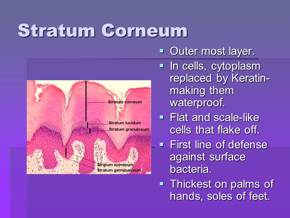 Stratum Corneum  Outer most layer.