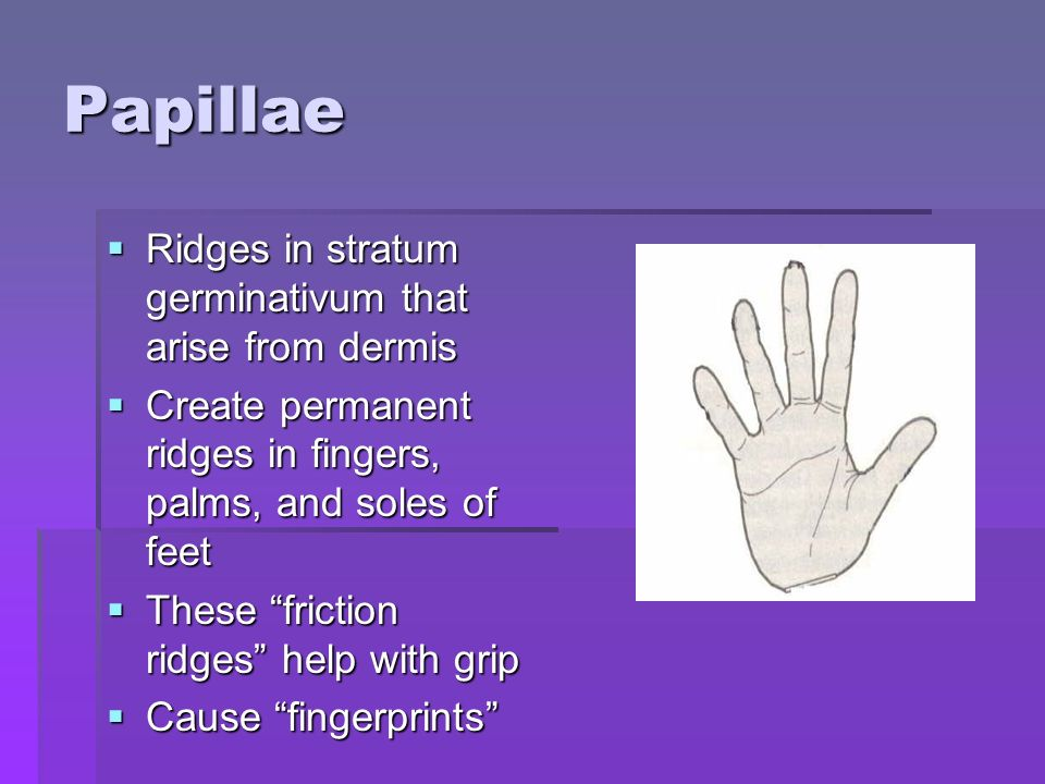 Papillae  Ridges in stratum germinativum that arise from dermis  Create permanent ridges in fingers, palms, and soles of feet  These friction ridges help with grip  Cause fingerprints