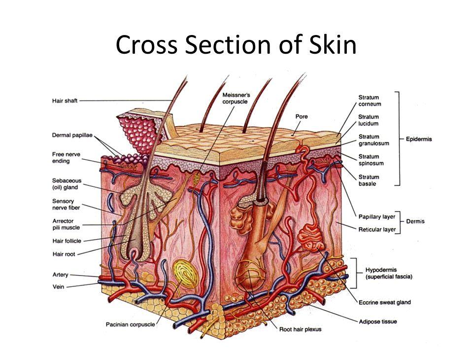 Integumentary System The Skin Integumentary System Anatomy