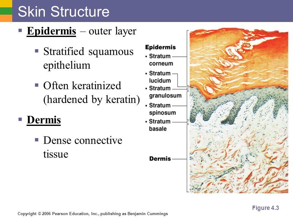 Copyright © 2006 Pearson Education, Inc., publishing as Benjamin Cummings Skin Structure  Epidermis – outer layer  Stratified squamous epithelium  Often keratinized (hardened by keratin)  Dermis  Dense connective tissue Figure 4.3