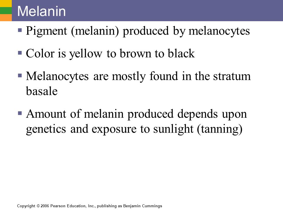Copyright © 2006 Pearson Education, Inc., publishing as Benjamin Cummings Melanin  Pigment (melanin) produced by melanocytes  Color is yellow to brown to black  Melanocytes are mostly found in the stratum basale  Amount of melanin produced depends upon genetics and exposure to sunlight (tanning)
