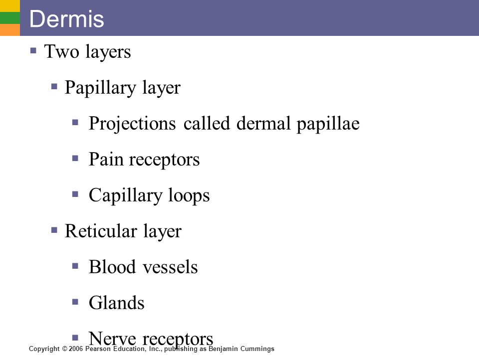 Copyright © 2006 Pearson Education, Inc., publishing as Benjamin Cummings Dermis  Two layers  Papillary layer  Projections called dermal papillae  Pain receptors  Capillary loops  Reticular layer  Blood vessels  Glands  Nerve receptors