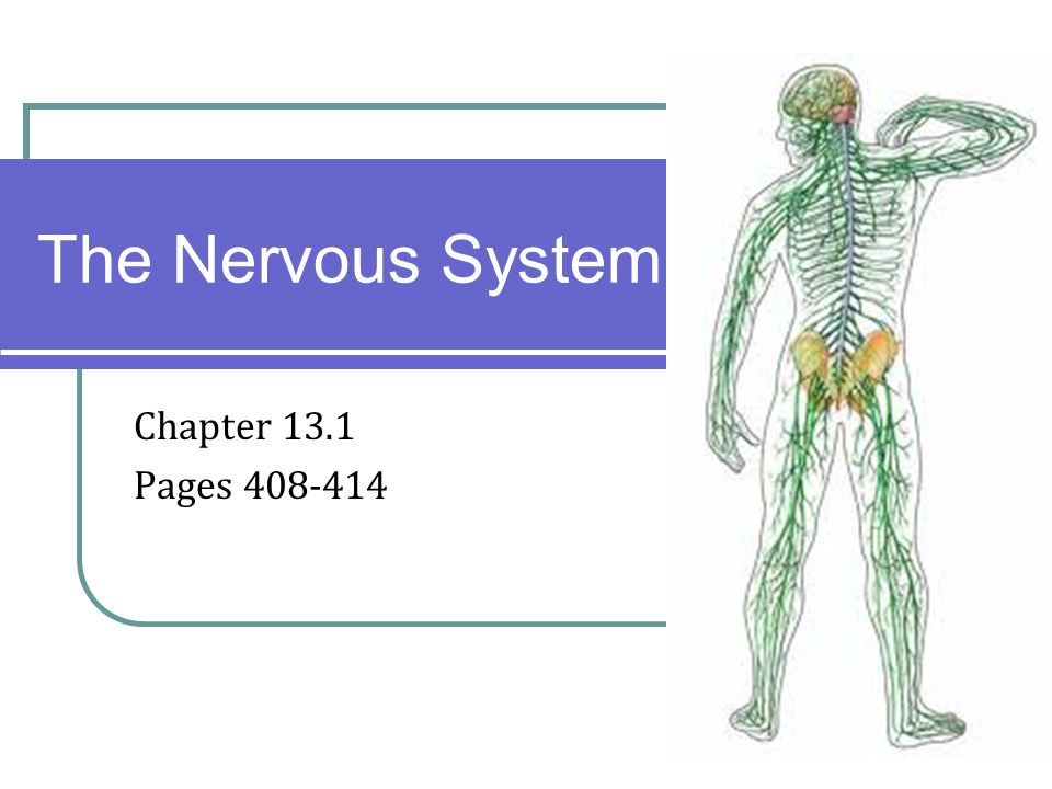 Chapter 131 Pages The Nervous System Introduction The Organization