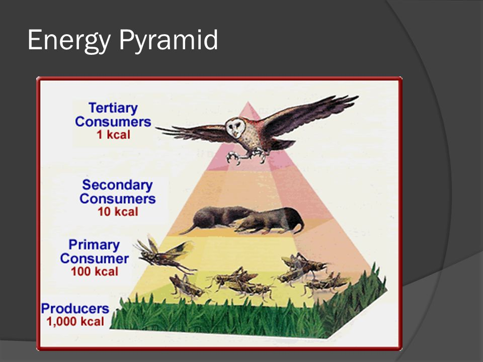 Pyramid Models  Used to show amount of matter and energy in an ...
