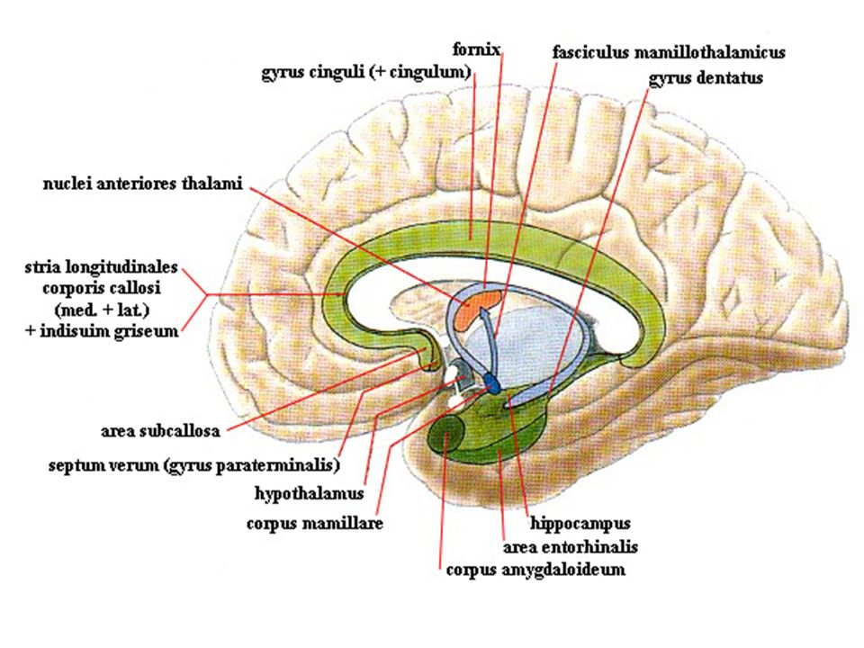 LIMBIC SYSTEM. - ppt video online download