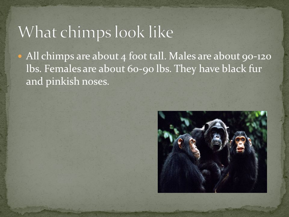 All chimps are about 4 foot tall. Males are about lbs.