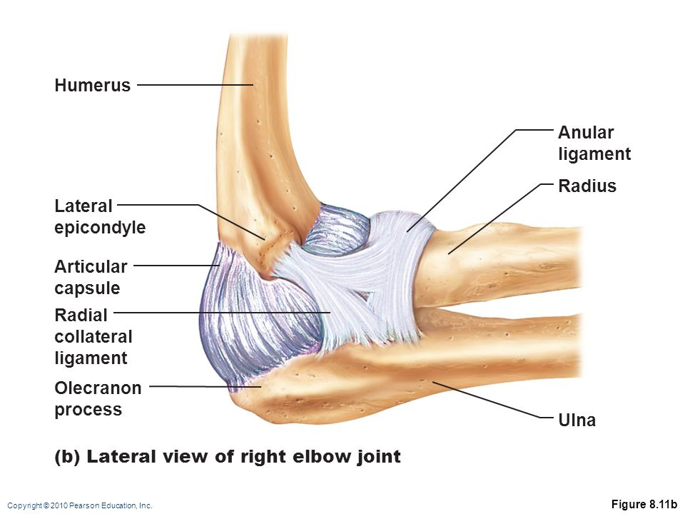 Copyright © 2010 Pearson Education, Inc. Elbow Joint Radius and ulna ...