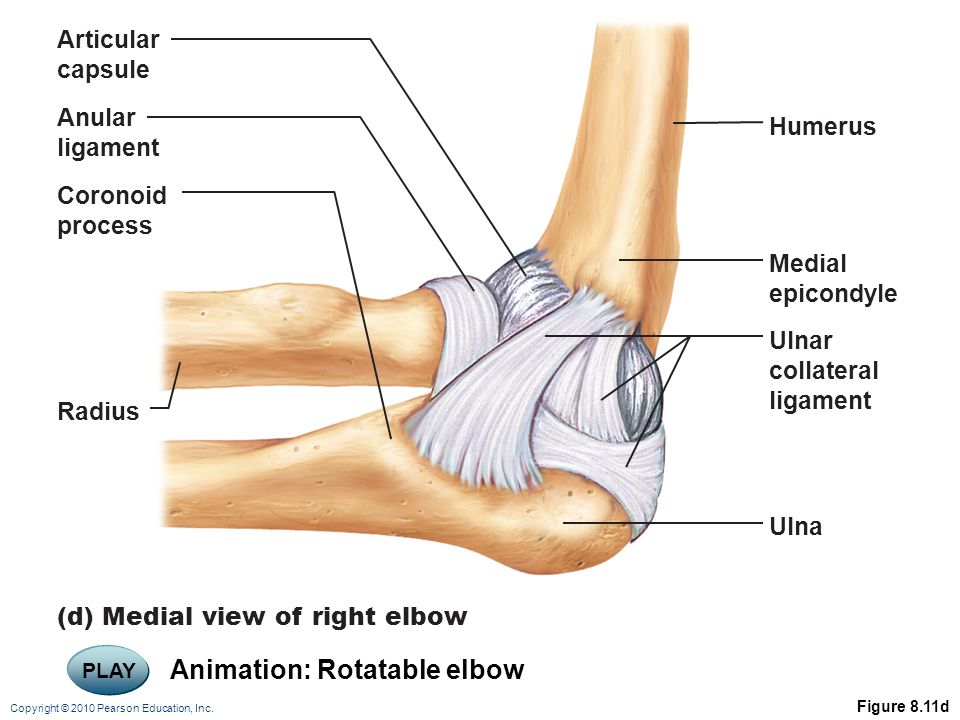 Copyright 2010 Pearson Education Inc Elbow Joint Radius And Ulna
