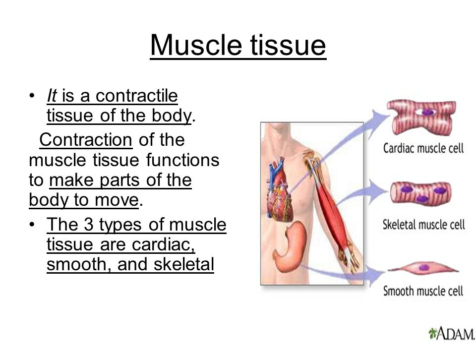 Muscle tissue It is a contractile tissue of the body.