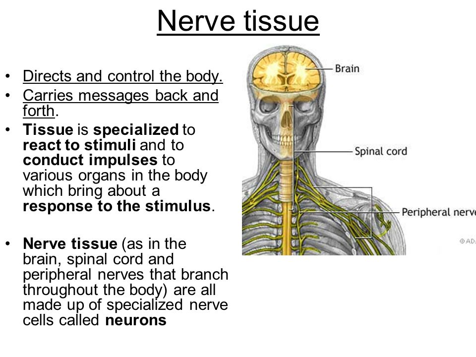 Nerve tissue Directs and control the body. Carries messages back and forth.