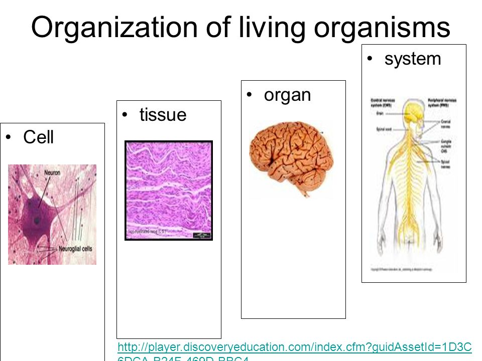 Organization of living organisms Cell tissue organ system   guidAssetId=1D3C 6DCA-B24F-469D-BBC4- 5BE7F444DB91&blnFromSearch=1&productcode=US