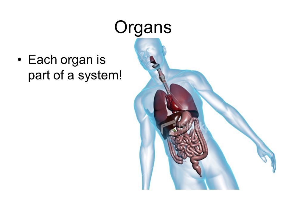 Organs Each organ is part of a system!