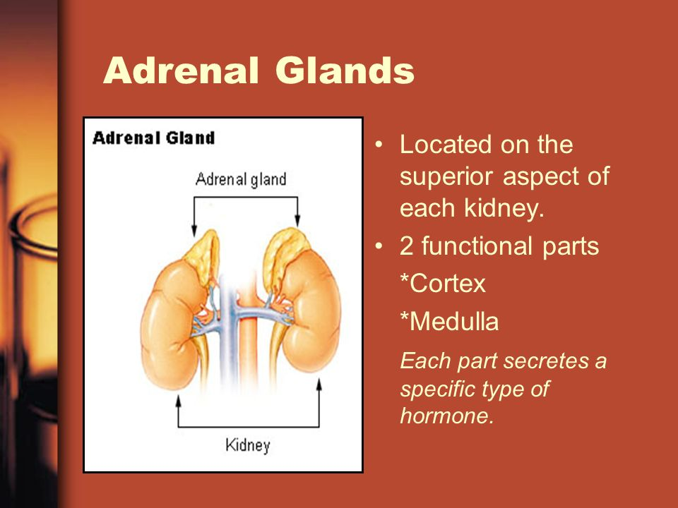 Adrenal Glands Located on the superior aspect of each kidney.