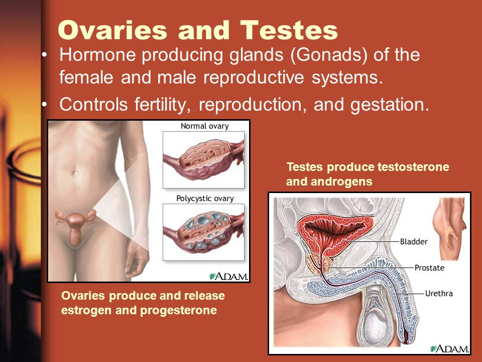 Ovaries and Testes Hormone producing glands (Gonads) of the female and male reproductive systems.