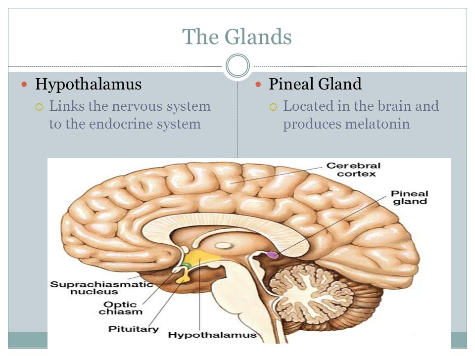 The Glands Hypothalamus  Links the nervous system to the endocrine system Pineal Gland  Located in the brain and produces melatonin