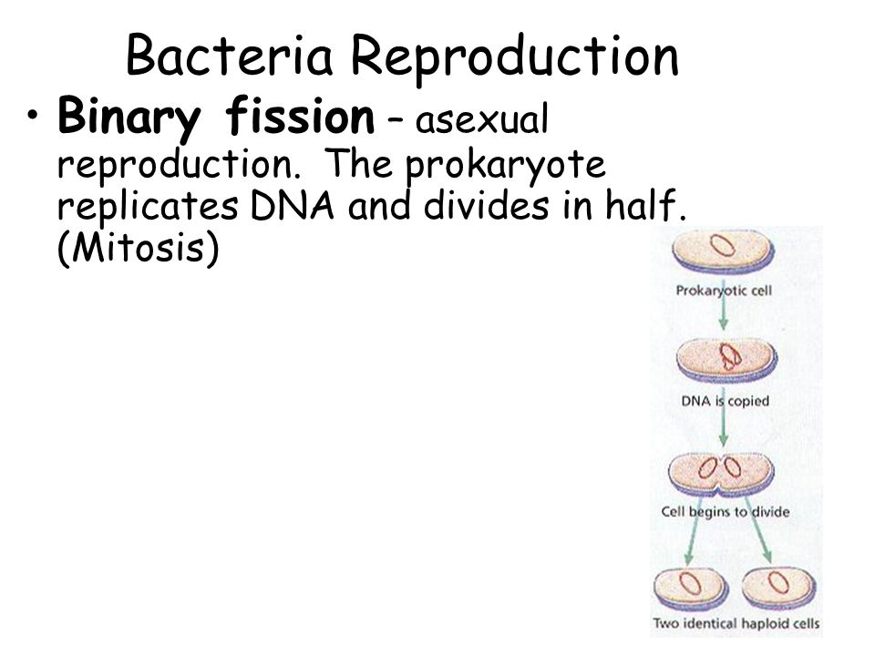 Bacteria Reproduction Binary fission – asexual reproduction.