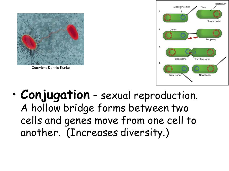 Conjugation – sexual reproduction.