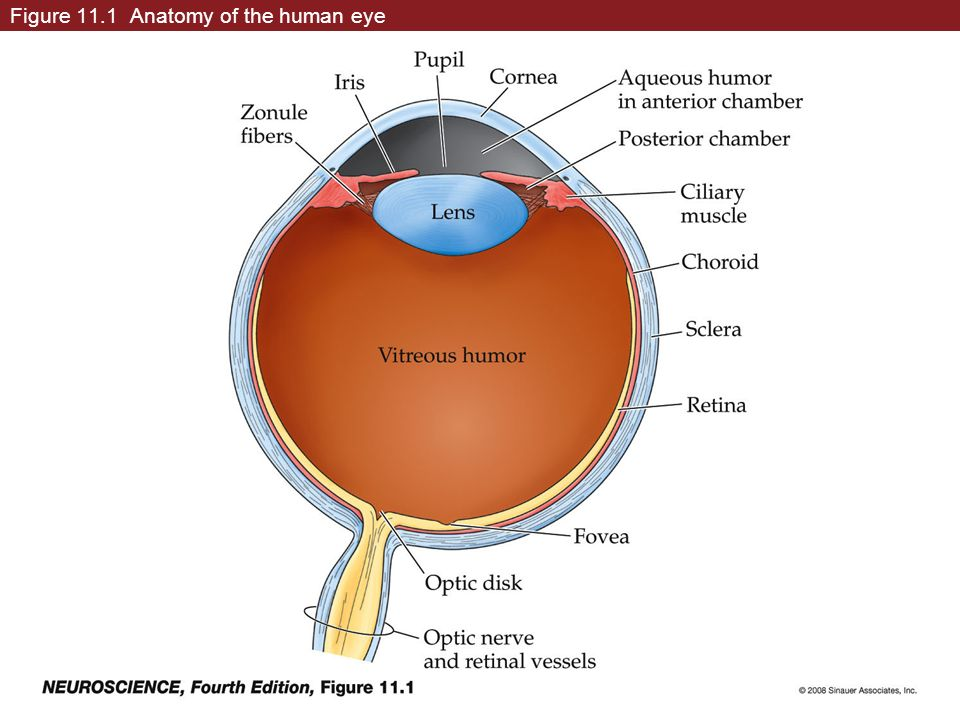 Figure 111 Anatomy Of The Human Eye Box 11a1 Myopia And Other