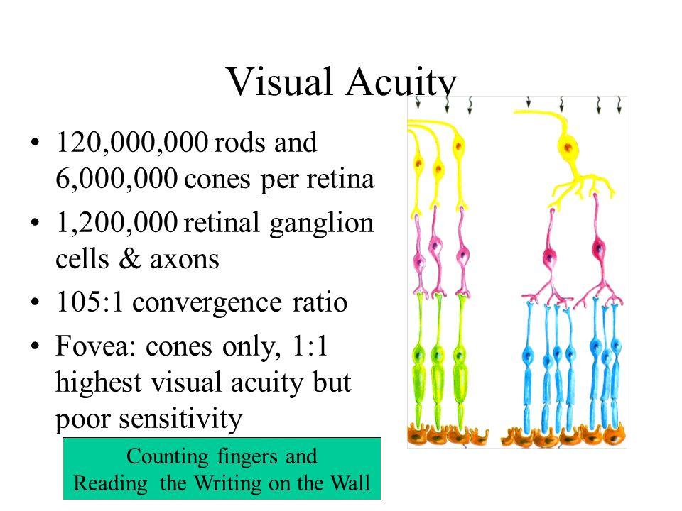 The Visual System Part 2 The Retina Photoreceptors Rods Cones