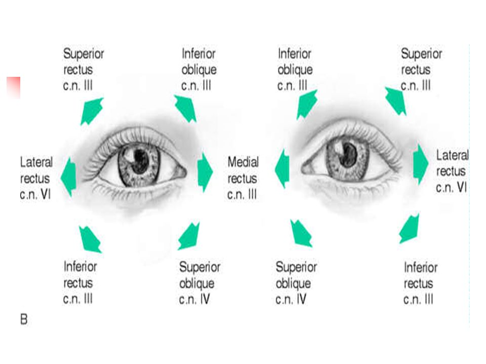 Physiology of visual analyzer - ppt download