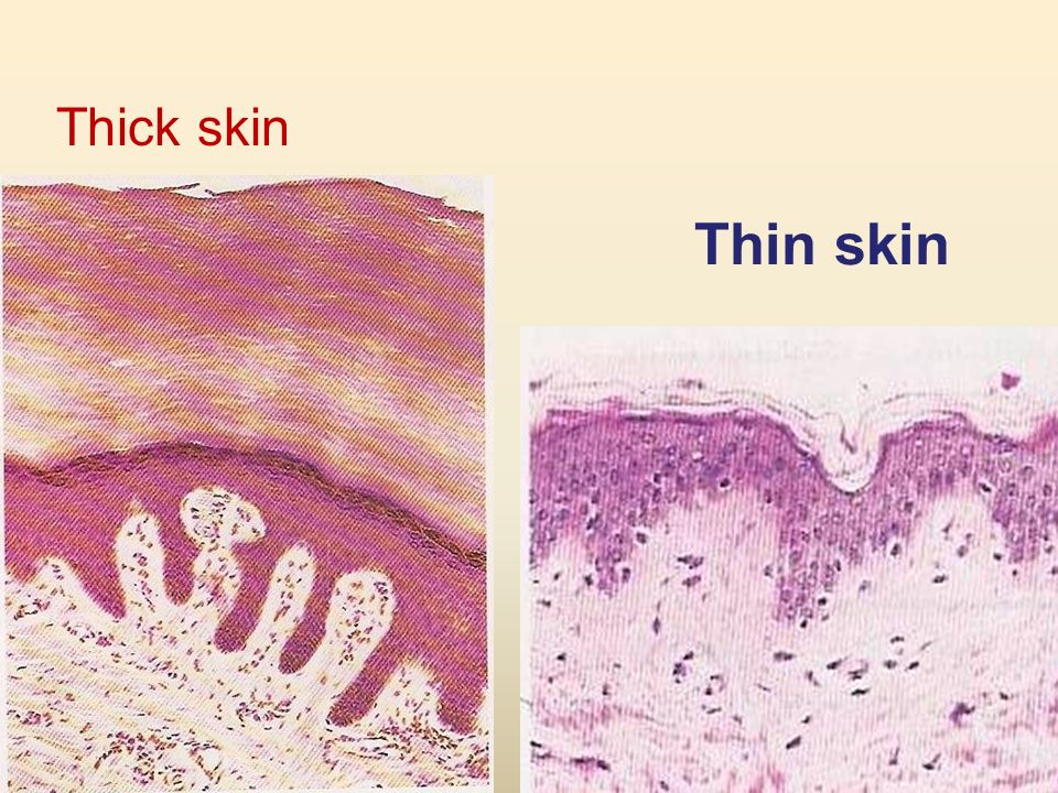 Integument Is composed of skin and its appendages, sweat glands ...