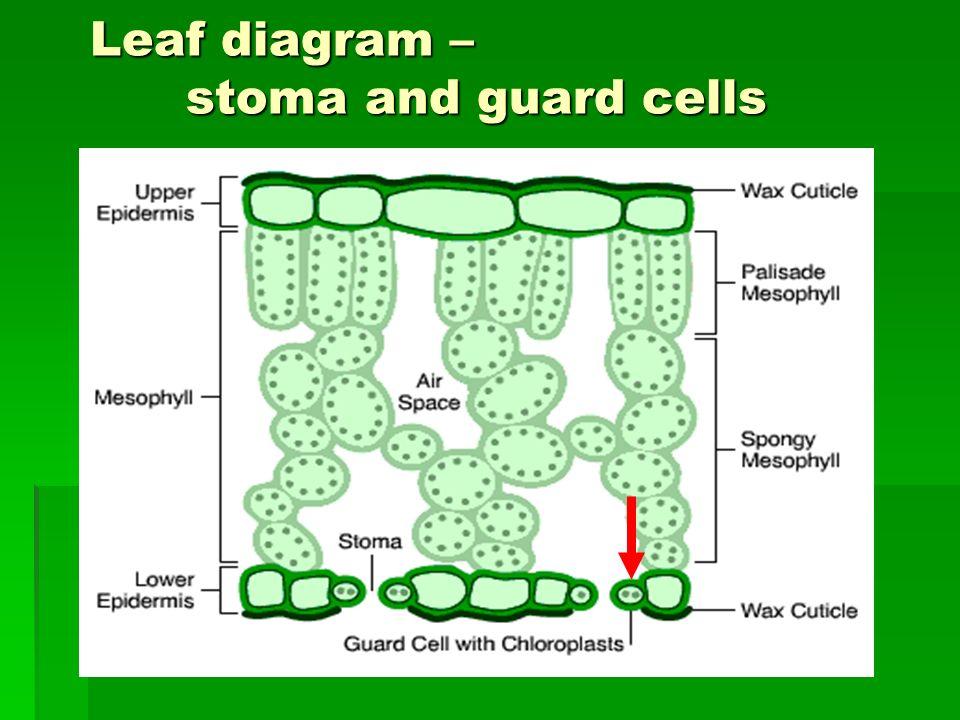 Plant Epidermis Diagram Web About Wiring Diagram