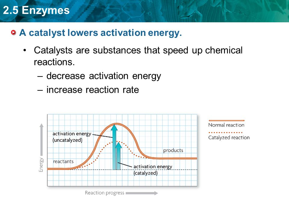 2.5 Enzymes A catalyst lowers activation energy.