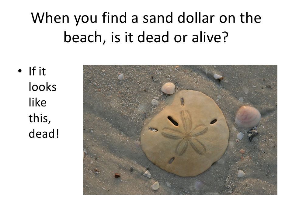 Sand Dollars Sand Dollars Part Of The Echinoderm Phylum Closely Related To Sea Urchins Class Echinoidea Sea Urchins Sand Dollars Ppt Download