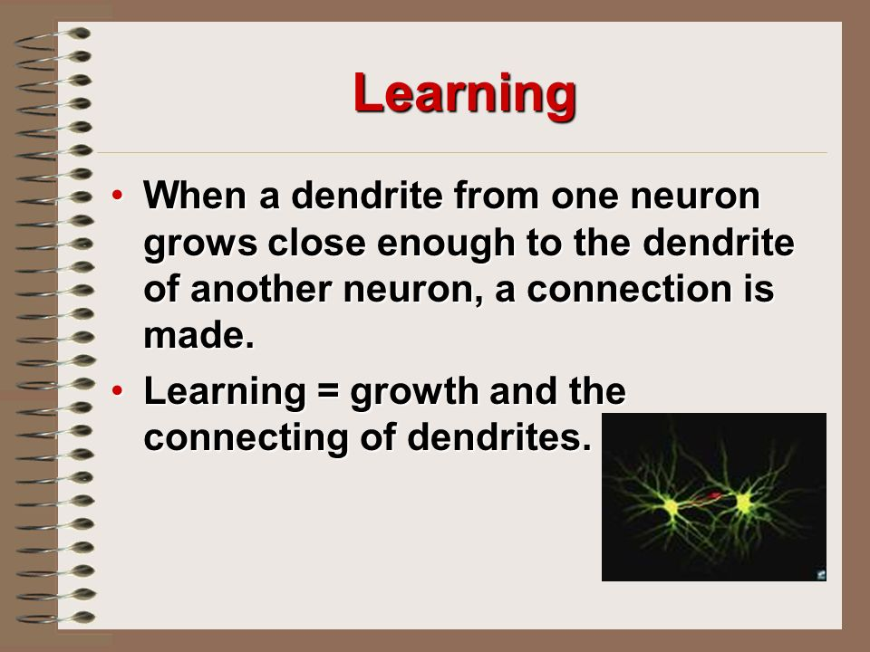 Learning When a dendrite from one neuron grows close enough to the dendrite of another neuron, a connection is made.When a dendrite from one neuron grows close enough to the dendrite of another neuron, a connection is made.