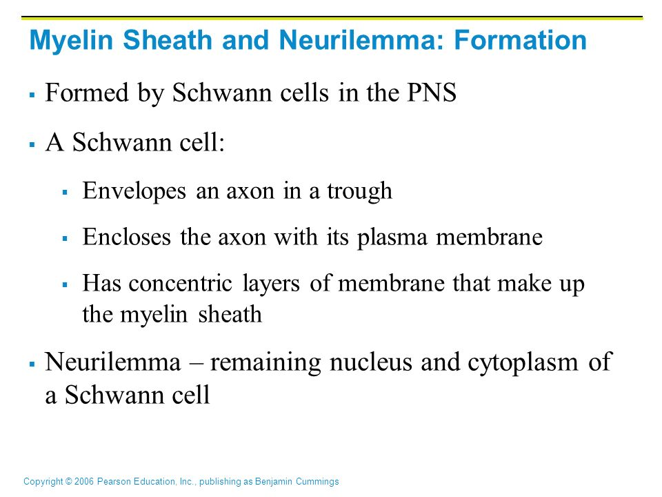 Copyright © 2006 Pearson Education, Inc., publishing as Benjamin Cummings Myelin Sheath and Neurilemma: Formation  Formed by Schwann cells in the PNS  A Schwann cell:  Envelopes an axon in a trough  Encloses the axon with its plasma membrane  Has concentric layers of membrane that make up the myelin sheath  Neurilemma – remaining nucleus and cytoplasm of a Schwann cell