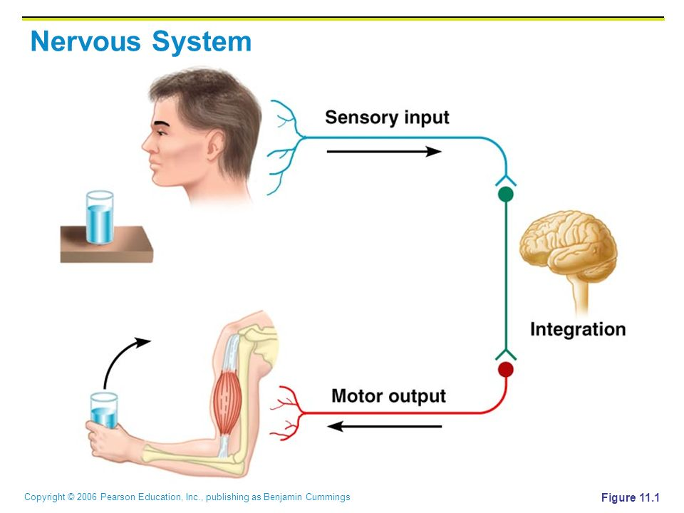 Copyright © 2006 Pearson Education, Inc., publishing as Benjamin Cummings Nervous System Figure 11.1