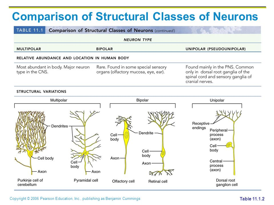 Copyright © 2006 Pearson Education, Inc., publishing as Benjamin Cummings Comparison of Structural Classes of Neurons Table