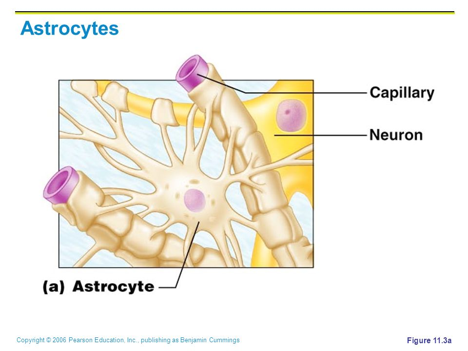 Copyright © 2006 Pearson Education, Inc., publishing as Benjamin Cummings Astrocytes Figure 11.3a