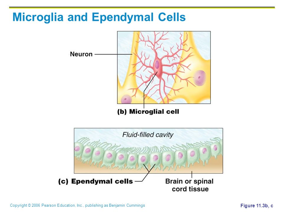 Copyright © 2006 Pearson Education, Inc., publishing as Benjamin Cummings Microglia and Ependymal Cells Figure 11.3b, c