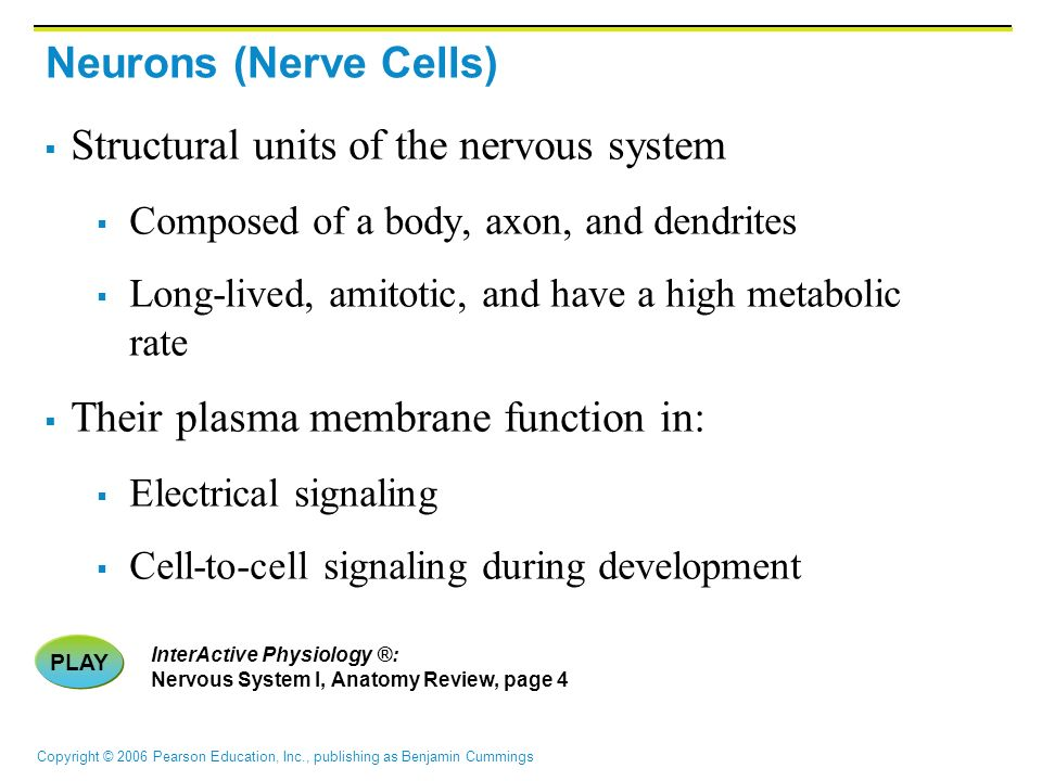 Copyright © 2006 Pearson Education, Inc., publishing as Benjamin Cummings Neurons (Nerve Cells)  Structural units of the nervous system  Composed of a body, axon, and dendrites  Long-lived, amitotic, and have a high metabolic rate  Their plasma membrane function in:  Electrical signaling  Cell-to-cell signaling during development PLAY InterActive Physiology ®: Nervous System I, Anatomy Review, page 4