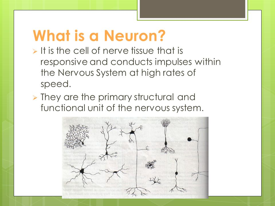The Function & Anatomy of Neurons What is a Neuron?  It is the ...