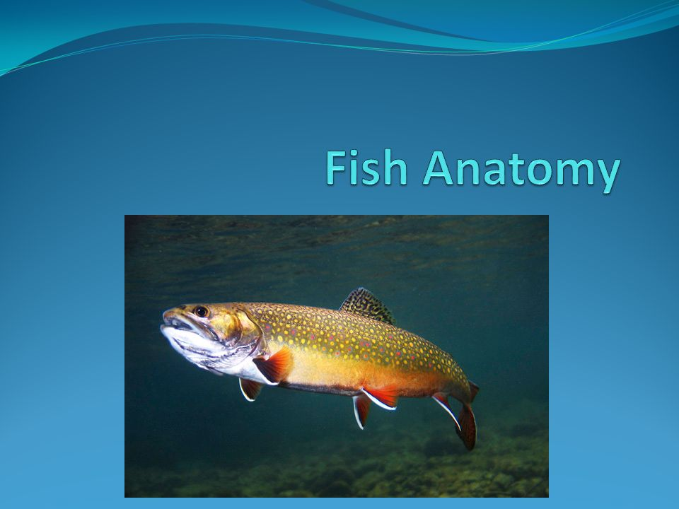 Fin Location Body Types Spiny-rayed fishSoft-rayed fish. - ppt download