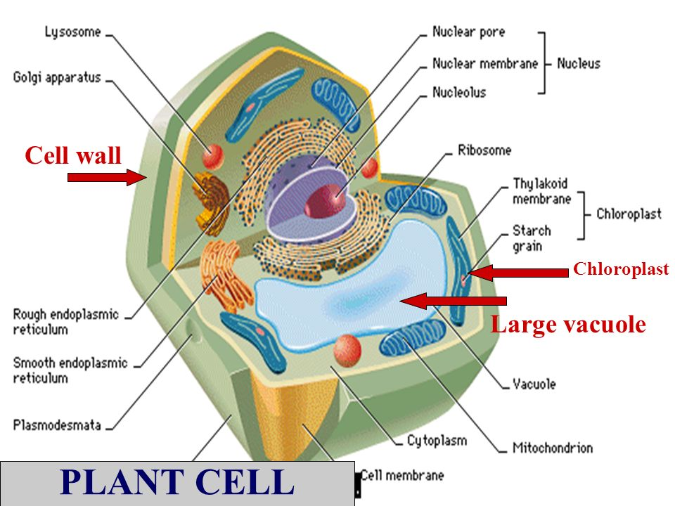 Eukaryotic Cell Structures Functions An Organelle Is A Minute